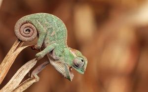 baby-chameleon-16331-400x250